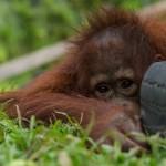 滙豐有能力推動整個行業以可持續的方式生產棕櫚油,保護珍貴的印尼雨林及極瀕危的紅毛猩猩。