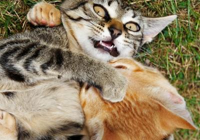 有專家指,貓群一日內鬥,一日無法牧養。