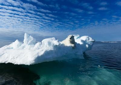 全球暖化加劇北極融冰,令北極熊更難棲身。