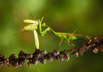 雌螳螂往往會在交配途中吃掉雄螳螂,由於螳螂的小腦位於腿部,即使頭部被咬走,仍然能夠控制肌肉神經,完成交配。