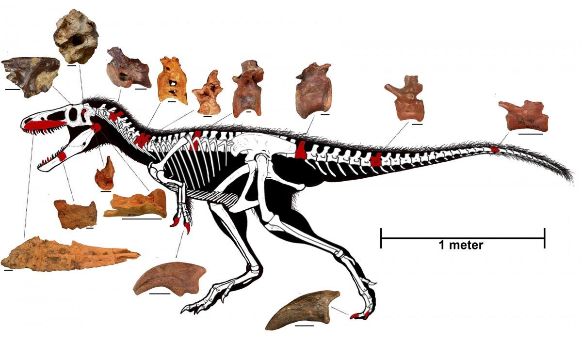 手繪帖木兒龍的骨骼結構圖。紅色代表新發現的帖木兒龍骨骼,白色骨骼部份則取自其暴龍屬,至於每件骨骼的比例尺,均代表 2 CM。圖片來源:路透社