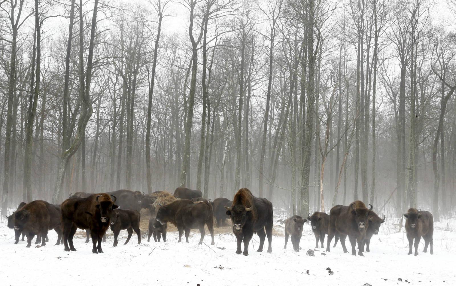 在另一個村落 Dronki 也發現一群美洲野牛。 圖片來源:路透社