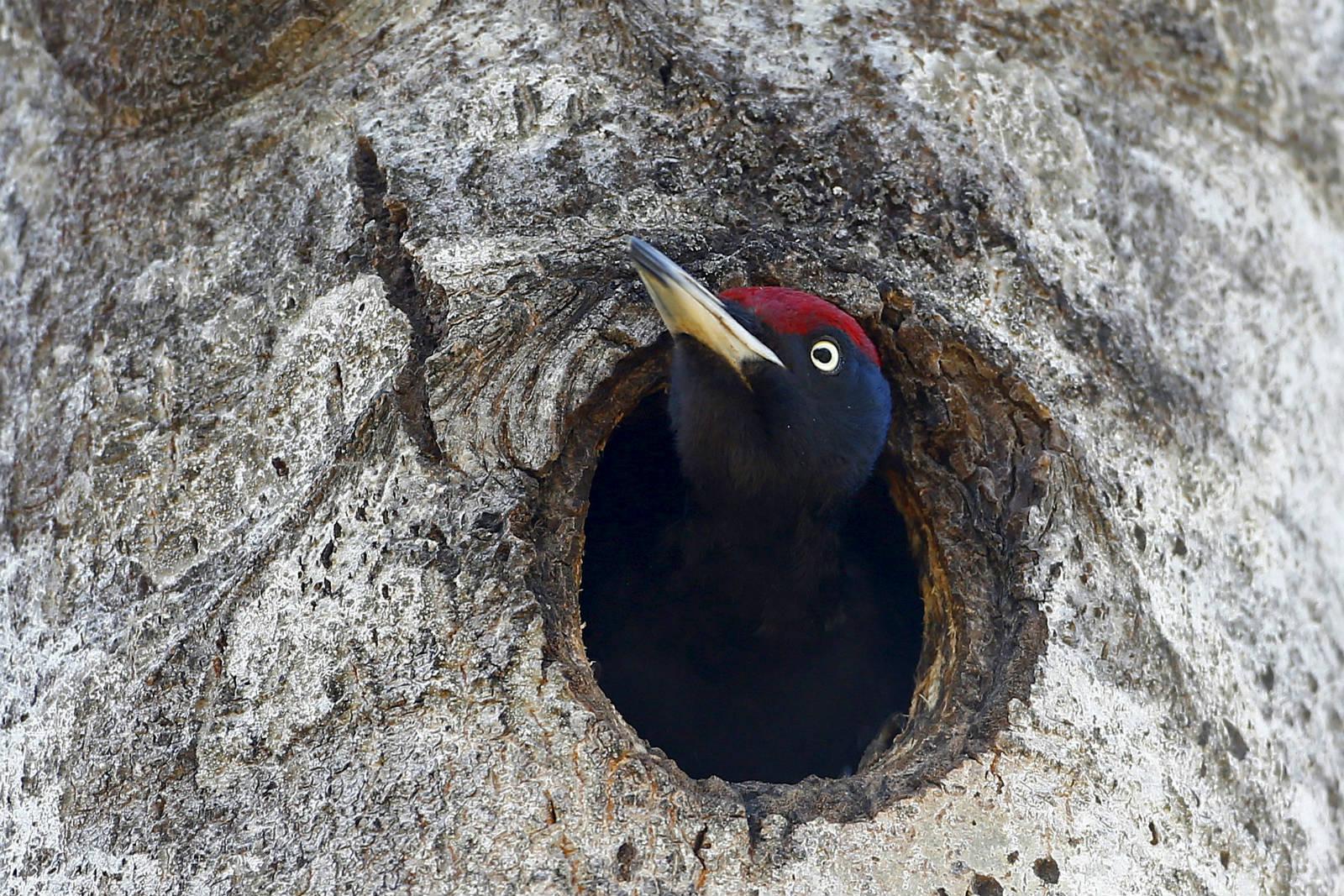 Babchin 村附近亦有啄木鳥從樹洞探出頭來。 圖片來源:路透社