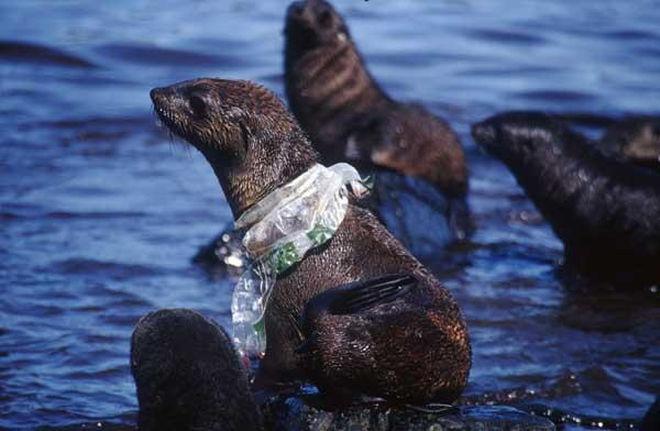 海洋廢膠纏繞海上動物。 圖片來源:British Antarctic Survey