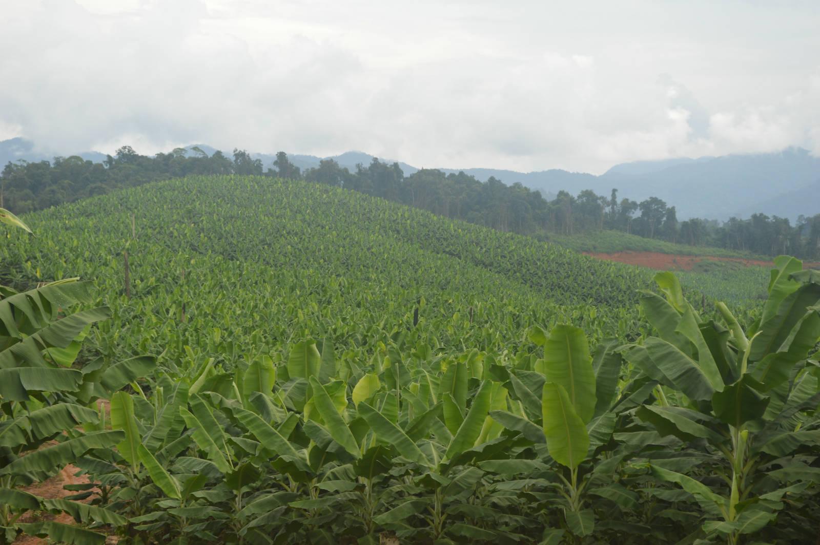 香蕉種植園佔領了緬甸的社區森林。