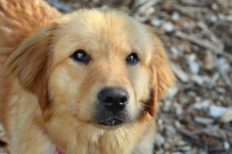 1 歲大的金毛尋回犬女 Joey。圖片來源:卡姆登縣動物收容所