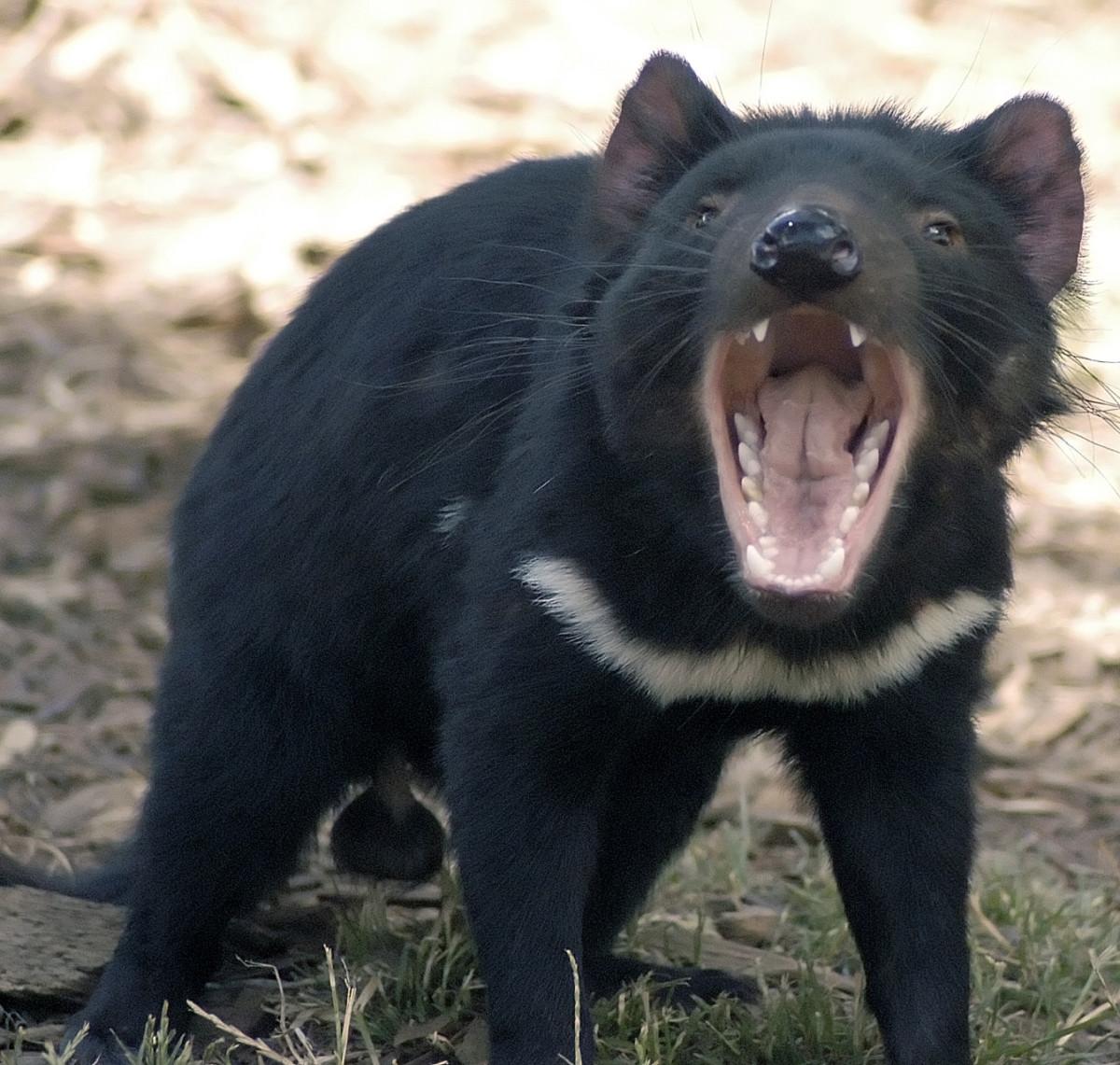 袋獾,亦被稱作塔斯曼尼亞惡魔。 圖片來源:wikicommons
