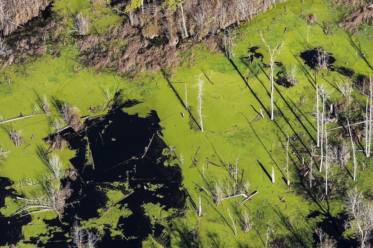 美國北卡羅萊納州一間養豬場接鄰的濕地長滿藻類。 圖片來源: J Henry Fair