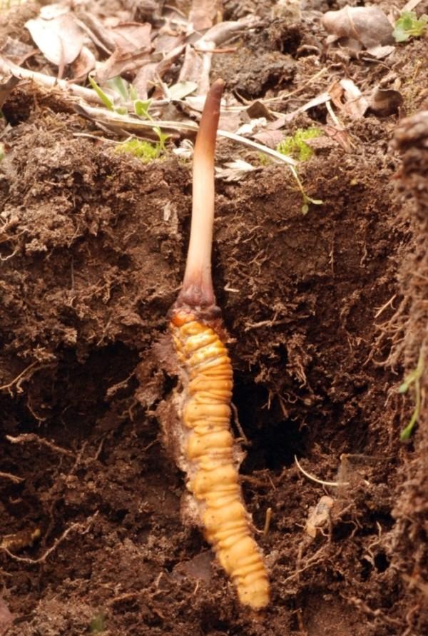 當真菌遇上土中的蝙蝠蛾幼蟲,就會鑽入蟲體,蠶食淨盡,最後菌絲充塞內部,破頂而出,就是冬蟲夏草。 圖片來源:David Winkler