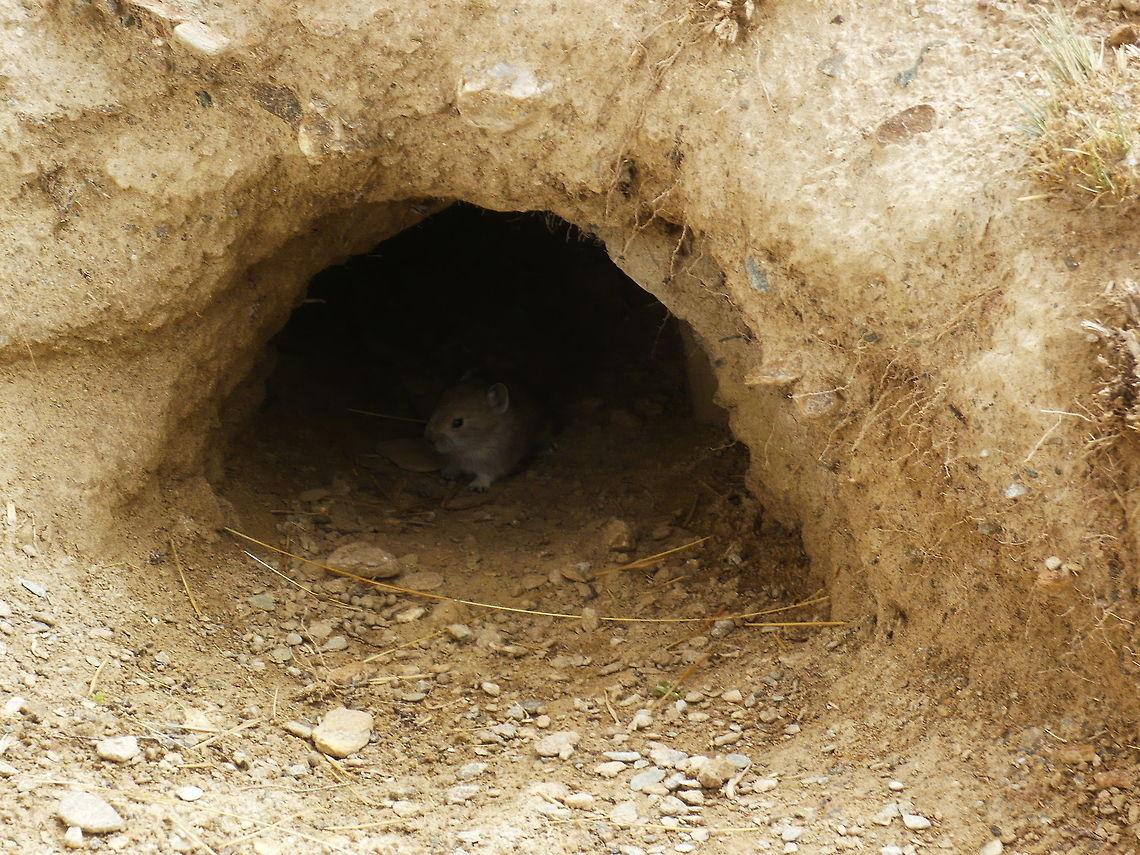 鼠兔在草原挖掘洞穴,被指造成水土流失,但外國的學者認為,牠們只是人為問題的代罪羔羊。圖片來源:Jungle Dragon