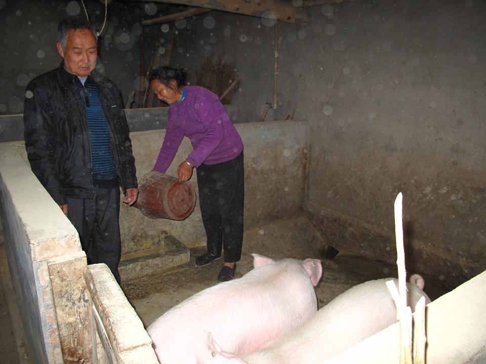 王家參加了救世軍的養豬項目,改善了生活。
