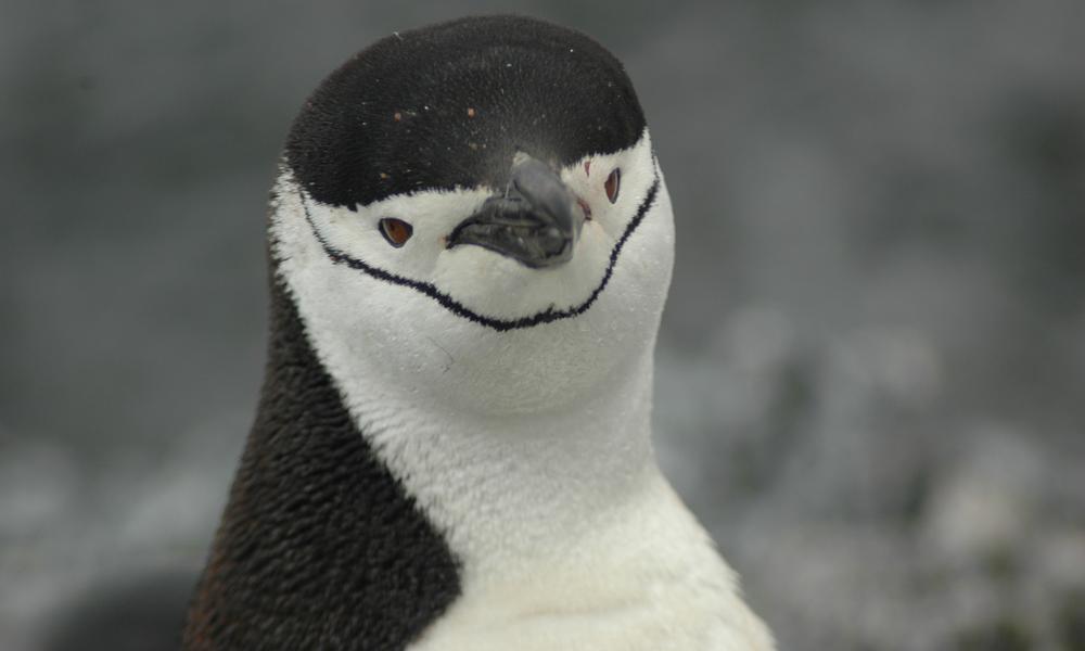 頰帶企鵝,圖片來源:世界自然基金會