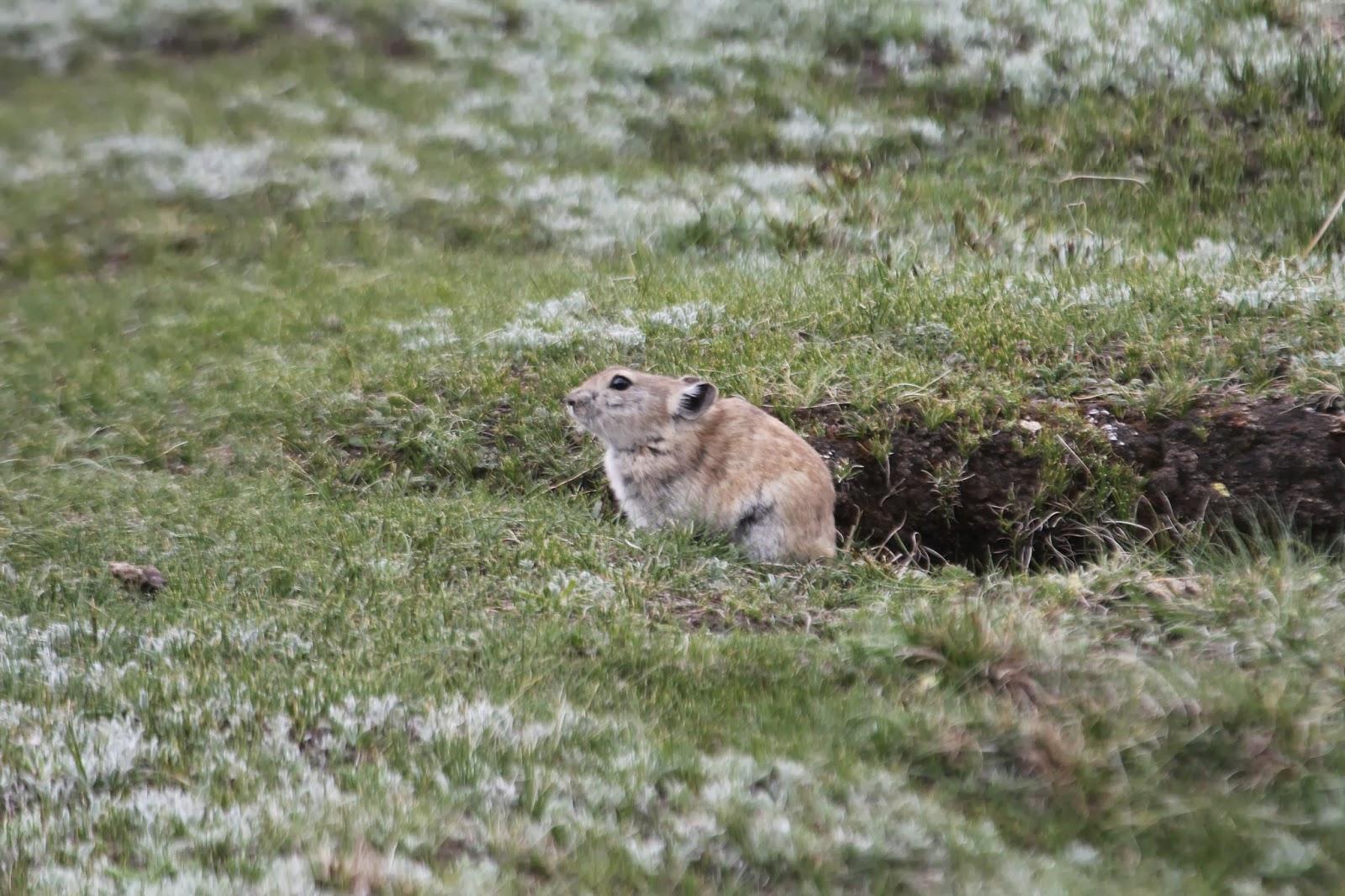 當局對高原鼠兔(Plateau Pika)趕盡殺絕,但外國的環境學家警告,鼠兔消亡反會破壞生態,後患無窮。 圖片來源:Worldbirder