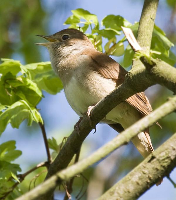 夜鶯,嗚唱出眾,音域極廣,玩賞鳥之一。