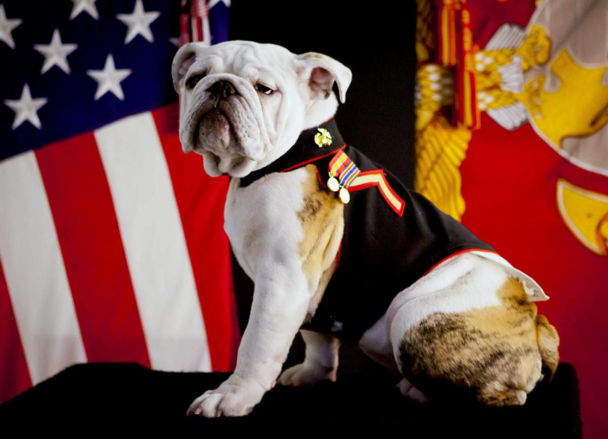 貴為美國海軍陸戰隊官方吉祥物的英國鬥牛犬。圖片來源:Wikimedia