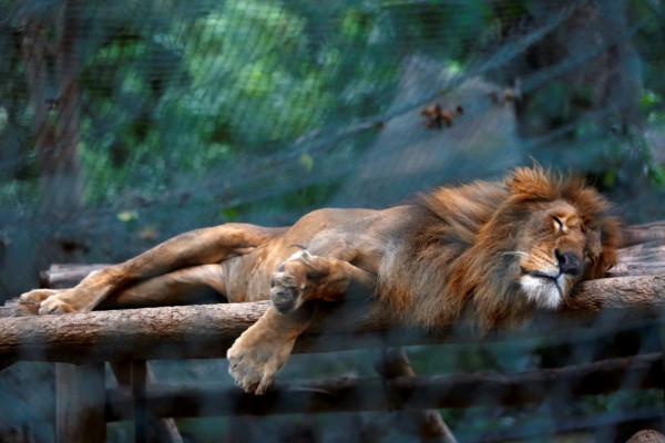 委內瑞拉內的獅子餓著午睡。 圖片來源:路透社