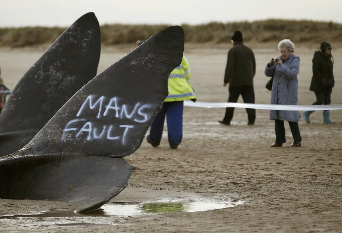 今年 1 月在英國東岸擱淺死亡的抹香鯨,有人用噴漆在鯨尾噴上「人類的錯」字樣。圖片來源:路透社
