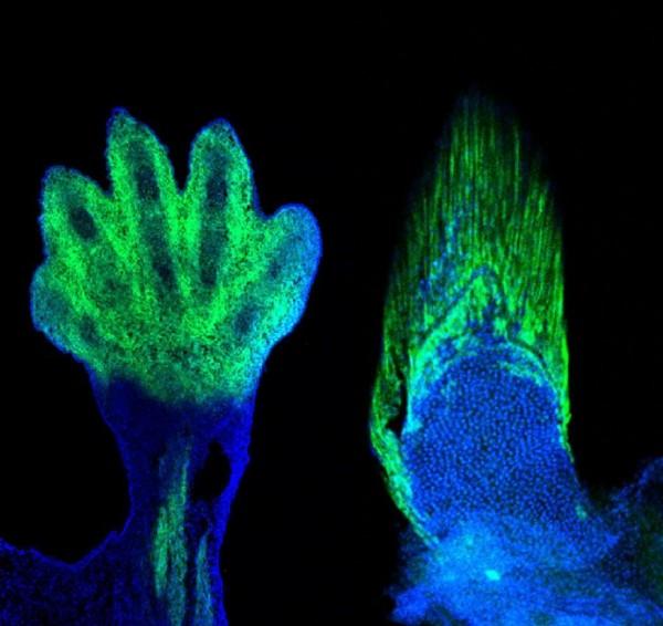 研究中,老鼠的手部和魚的鰭條,均發現擁有相同的分子標籤。 圖片來源:Marie Kmita and Andrew Gehrke