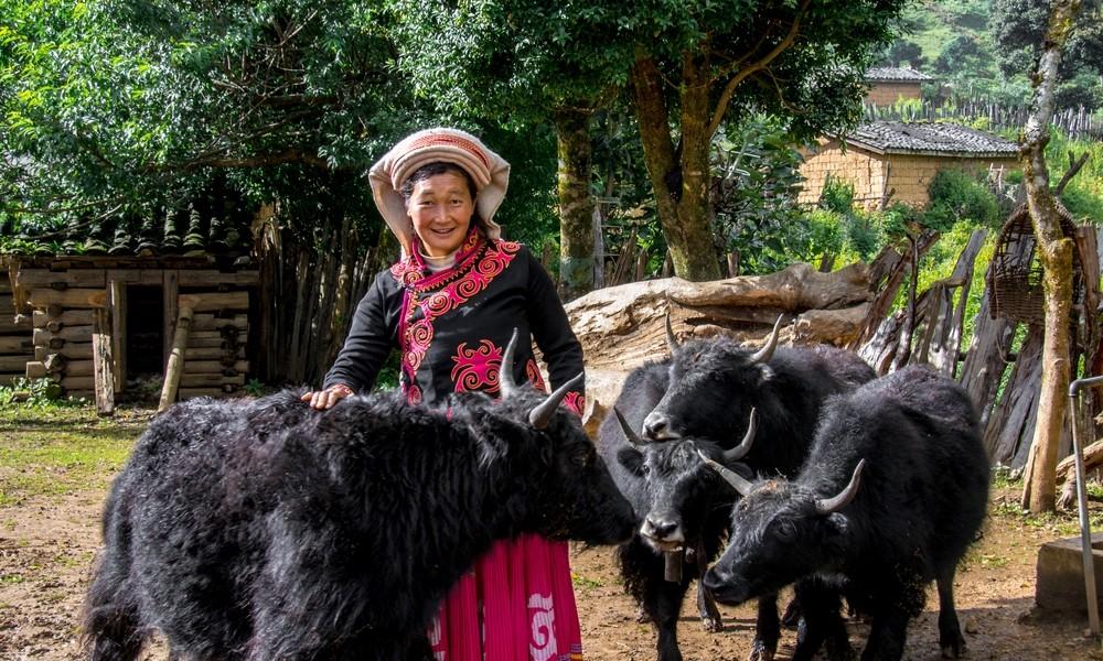 波多羅村民楊繼香買了幾頭犛牛來飼養,增加收入。