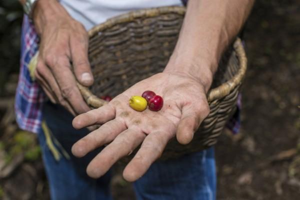 粒粒皆辛苦的咖啡豆。