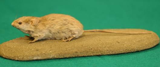小家鼠(Mus musculus) 圖片來源:食物環境衛生署
