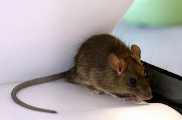 黑家鼠(Rattus rattus) 圖片來源:食物環境衛生署