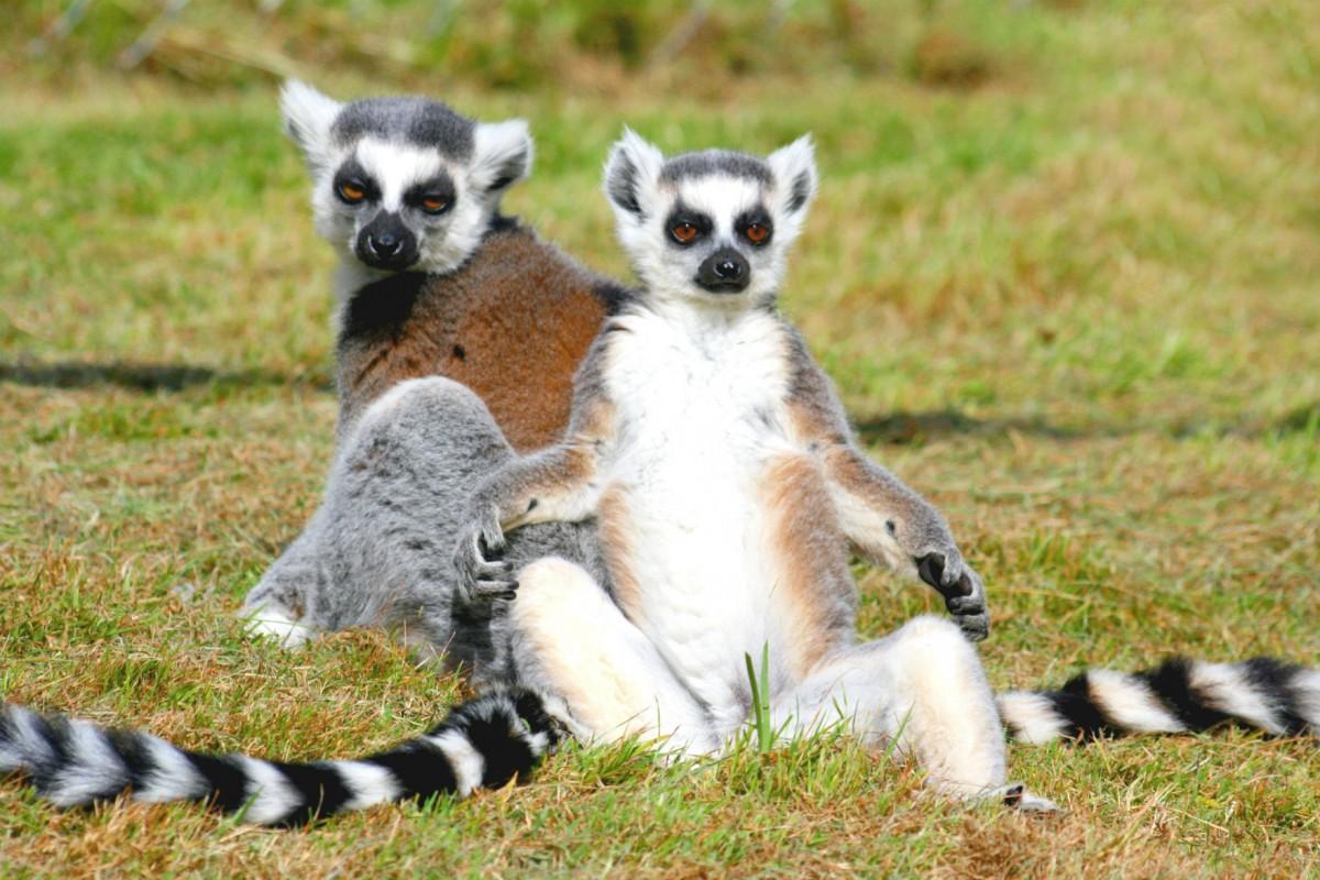 狐猴:小心同類好過小心敵人。