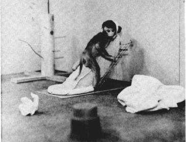 依附在布假母猴的幼猴。 圖片來源:American Psychologist