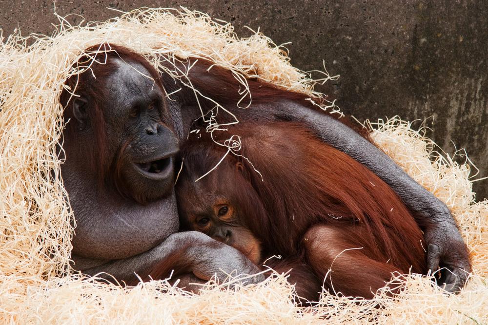 因棲身地劇減,紅毛猩猩由獨居動物演變為群居動物,發展出互相撫摸的社交習慣。