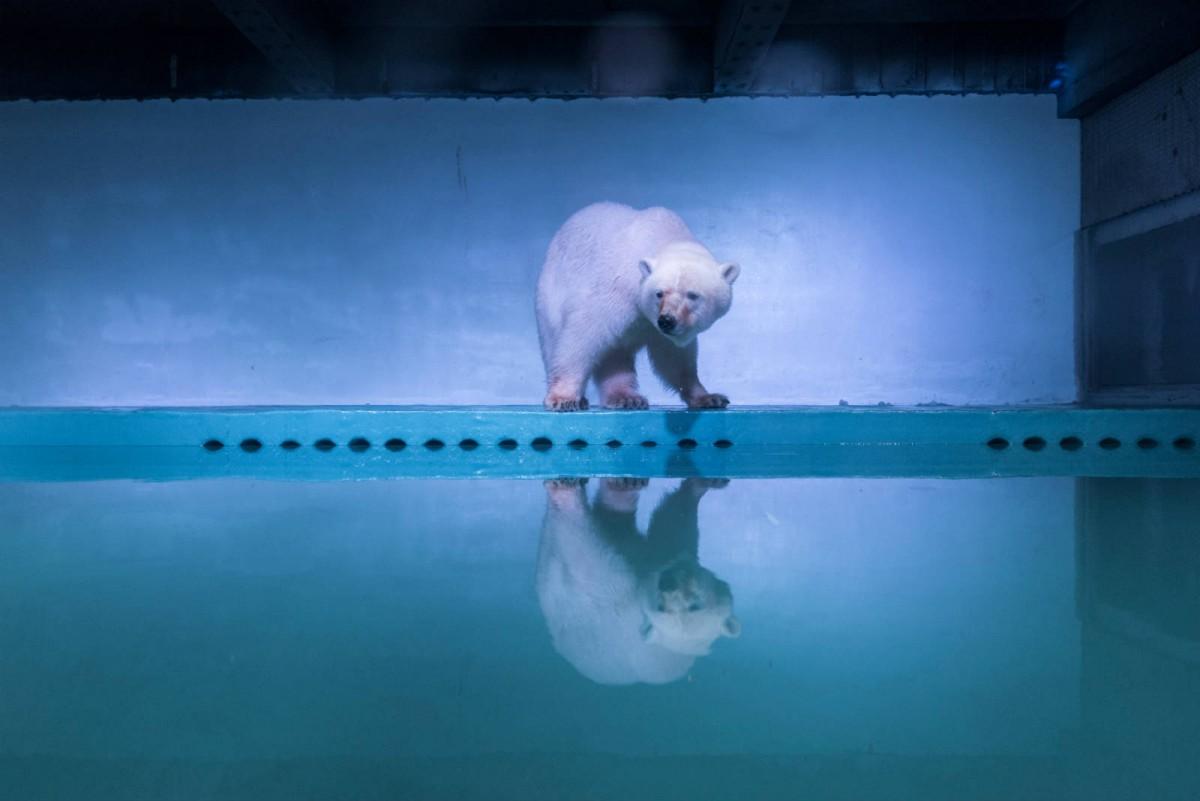 7 月 27 日,一頭北極熊被攝於廣州正佳廣場海洋館。