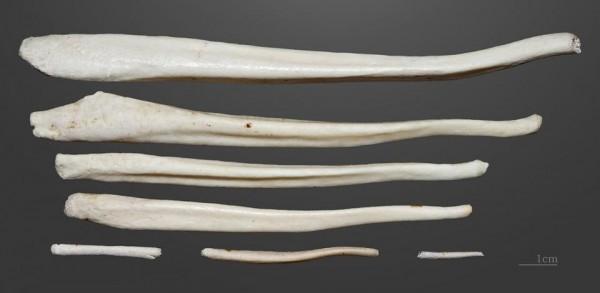 棕熊的陰莖骨。熊的陰莖骨平均長度由 17 厘米至 23 厘米不等。