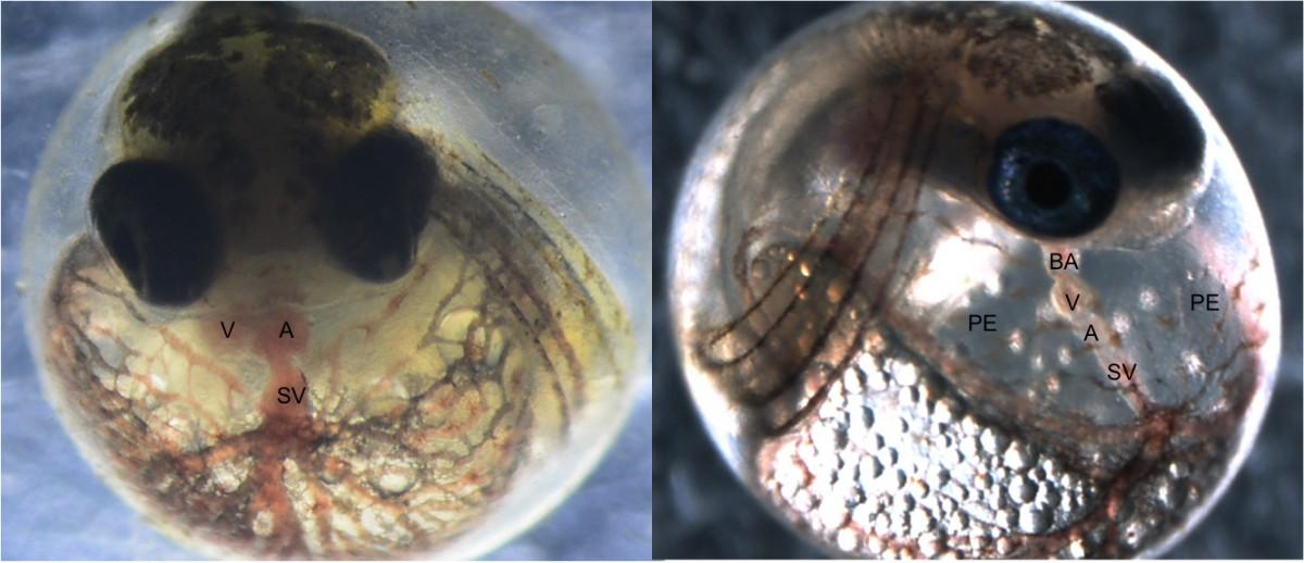 左邊是正常發育的大西洋鏘魚胚胎,右邊是受化學物影響的胚胎。右邊的鏘魚發展出畸形的心臟,不過適應了化學物的鏘魚則能避免發育缺憾。 圖片來源:UC Davis