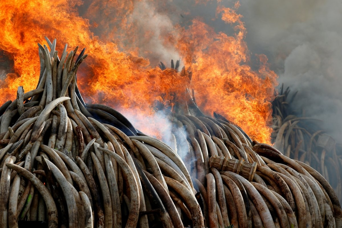 fire-burns-part-of-an-estimated-105-tons-of-ivory-and-a-ton-of-rhino-horn-confiscated-from-smugglers-and-poachers