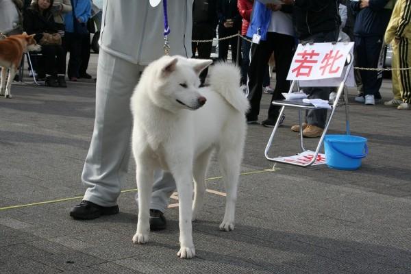 圖片來源:秋田犬保存会