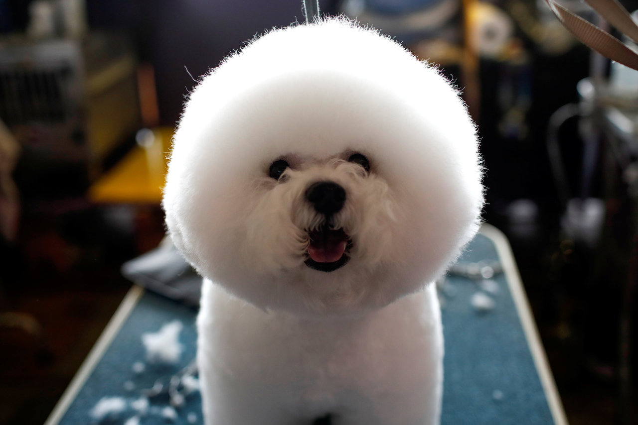 A Bichon Frise stands on a grooming table in the benching area before competition at the 141st Westminster Kennel Club Dog Show in New York City, February 13, 2017. REUTERS/Mike Segar TPX IMAGES OF THE DAY