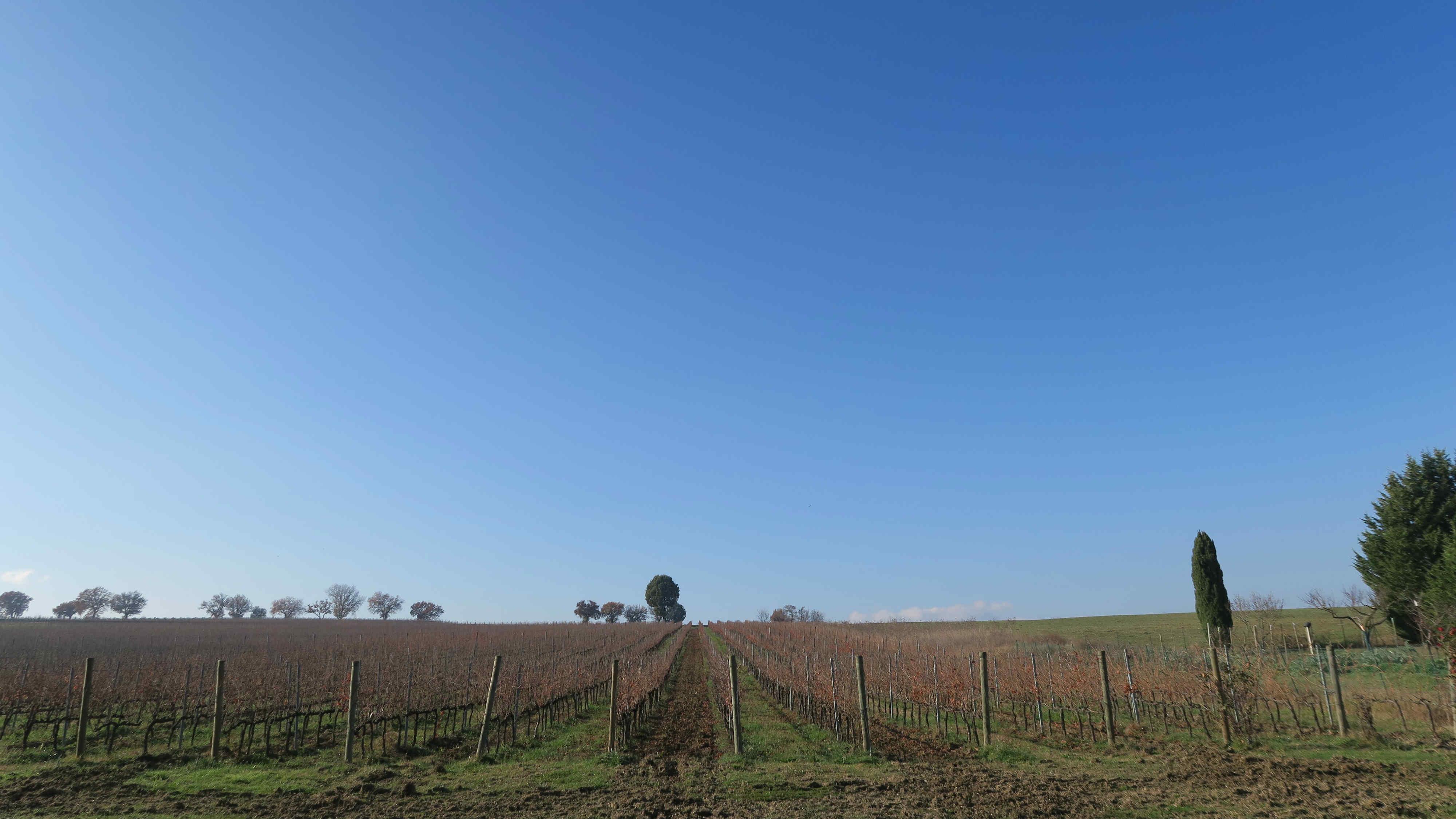 Bocale 酒莊的葡萄園。