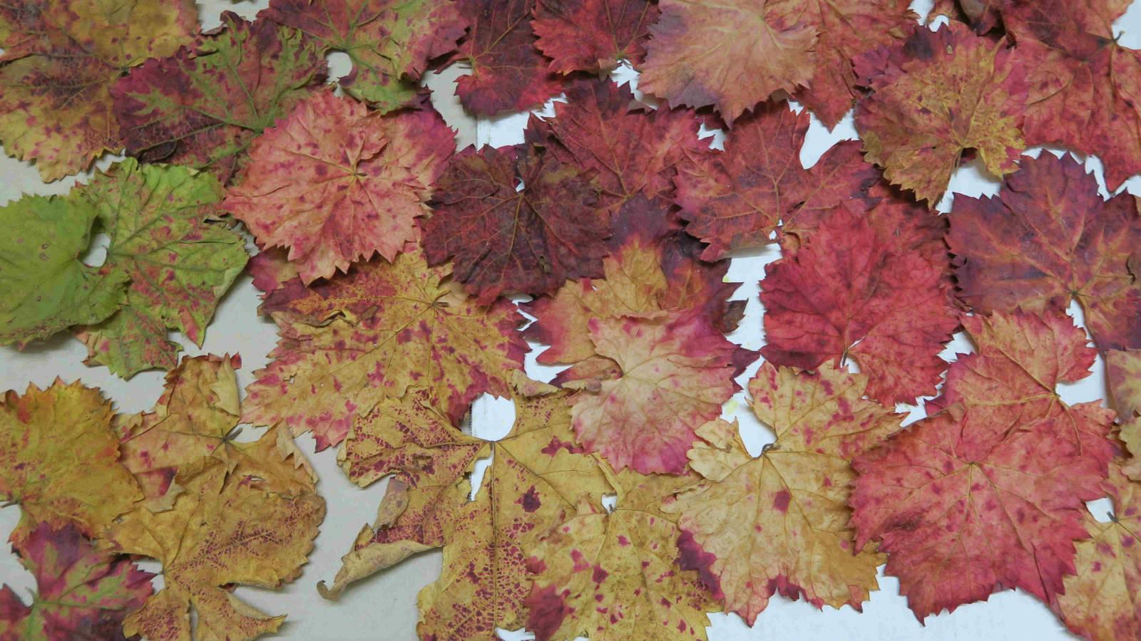 Sagrantino 的葡萄葉,入秋後會轉紅,所以 Sagrantino 的葡萄園會在紅綠紛陳。