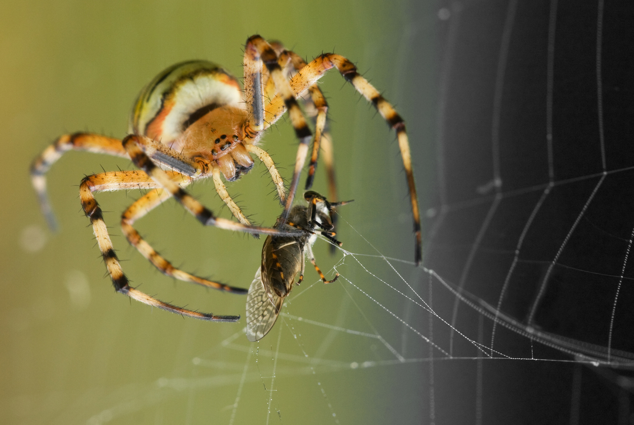 Wasp Spider with pray frontview