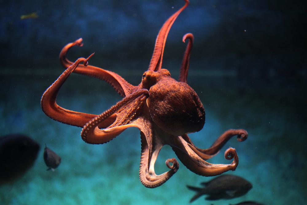 研究發現,八爪魚等頭足綱動物會大量修改基因,做法或與物種高度智慧有關。 圖片來源:Shutterstock